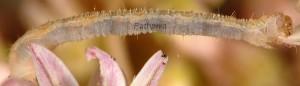Eupithecia liguriata L4 06 3
