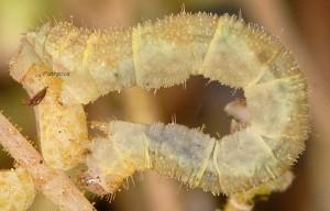 Eupithecia liguriata L5 06 3