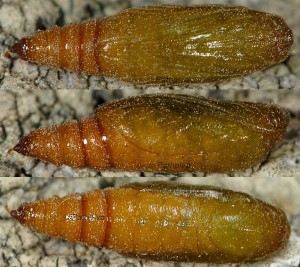 Eupithecia liguriata chrysalide 06 1