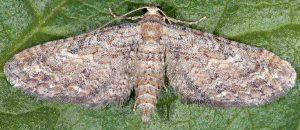 Eupithecia millefoliata 06 1