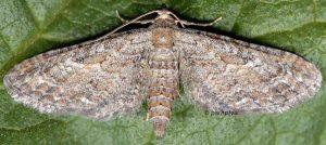 Eupithecia millefoliata 06 2