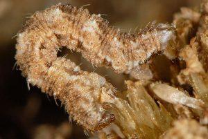 Eupithecia millefoliata L5 06 5