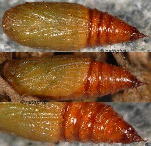 Eupithecia millefoliata chrysalide 06 1