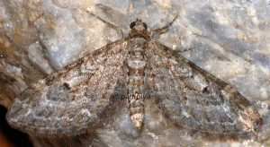 Eupithecia nanata 09 1