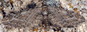 Eupithecia ochridata 05 2