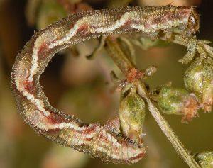 Eupithecia ochridata L5 06 4