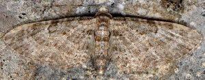 Eupithecia orphnata 06 1