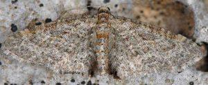 Eupithecia orphnata 06 2