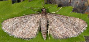 Eupithecia orphnata 06 3