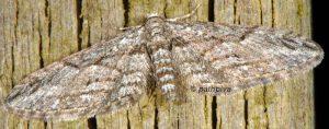 Eupithecia oxycedrata 06 2