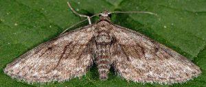 Eupithecia oxycedrata 2B 2