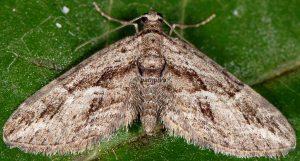 Eupithecia oxycedrata 2B 3