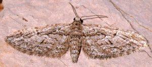 Eupithecia oxycedrata 34 1
