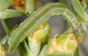 Eupithecia oxycedrata L4 1
