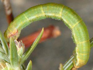 Eupithecia oxycedrata L5 1