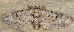 Eupithecia pauxillaria 06 1