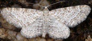 Eupithecia pernotata 05 1