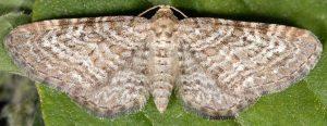 Eupithecia pernotata 06 1