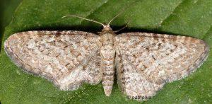 Eupithecia pernotata 06 2