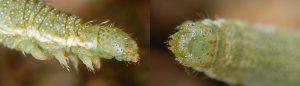 Eupithecia pernotata L5 06 3