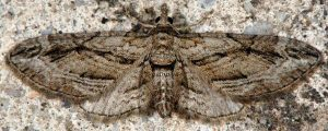 Eupithecia phoeniceata 06 1
