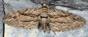 Eupithecia phoeniceata 06 2