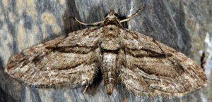 Eupithecia phoeniceata 06 3