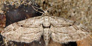 Eupithecia-phoeniceata-13-1