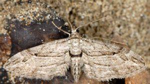 Eupithecia-phoeniceata-13-2