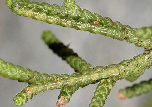 Eupithecia phoeniceata L3 & L4 06