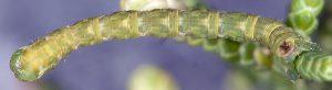 Eupithecia phoeniceata L5 06 2
