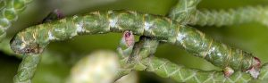 Eupithecia phoeniceata L5 06 4