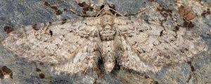 Eupithecia pimpinellata 06 1