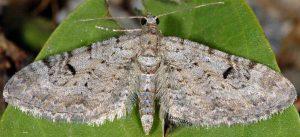 Eupithecia pimpinellata 06 2