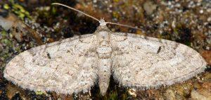 Eupithecia pimpinellata 06 3