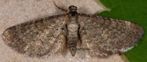 Eupithecia plumbeolata 06 1