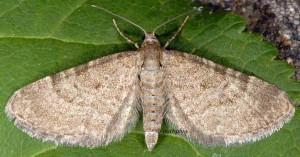 Eupithecia plumbeolata 66 1