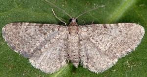 Eupithecia plumbeolata 66 2