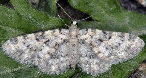 Eupithecia poecilata 2B 2