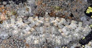 Eupithecia poecilata 2B 3