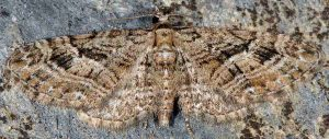 Eupithecia pusillata 06 1