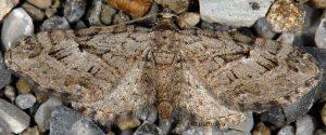 Eupithecia pusillata 06 2