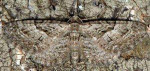 Eupithecia pusillata 26 1