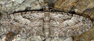 Eupithecia pusillata 26 2