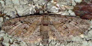 Eupithecia pusillata 26 3