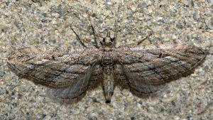 Eupithecia rosmarinata 66