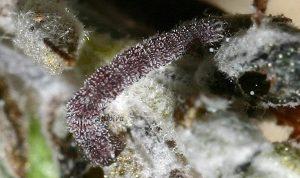 Eupithecia rosmarinata L2 66 3