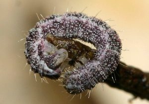 Eupithecia rosmarinata L3 66 1