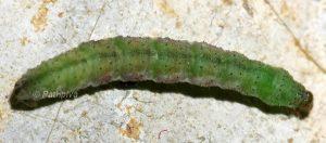 Eupithecia rosmarinata prénymphose 66