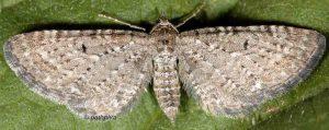 Eupithecia satyrata 06 1